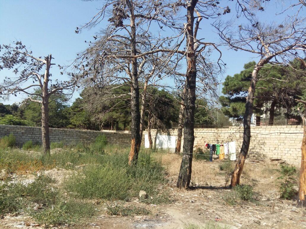 Respublika stadionunun arxasındakı ağaclar məhv edilir