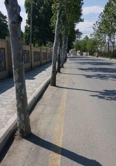 Tərtərdə çinar ağaclarının dibinə asfalt döşəndi,